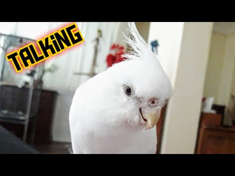 Cockatiel talking up a storm(snowy❤)