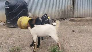 2 goats stuck in pot