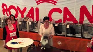Хайленд страйт (Шотландская прямоухая длинношерстная). Выставка кошек 12-13.09.2015.