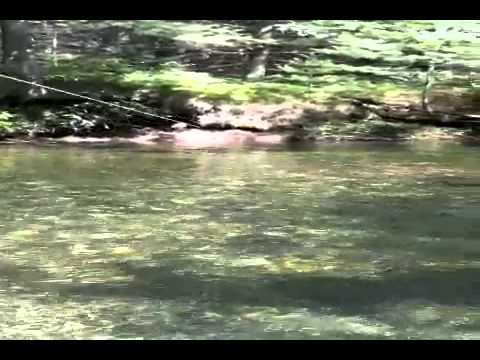 Fly fishing the swift river trophy rainbow trout youtube for Swift river fly fishing