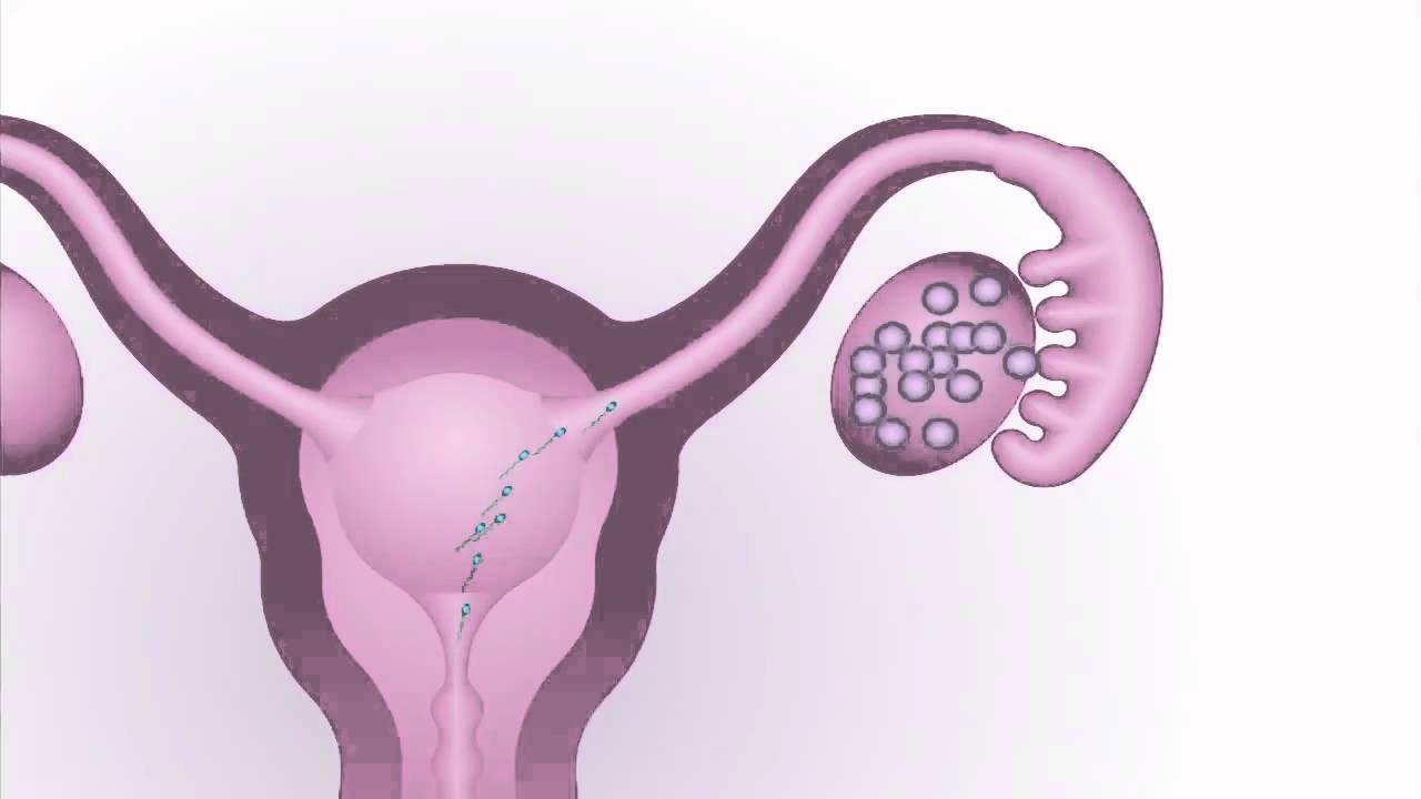 periodo de ovulacion femenina