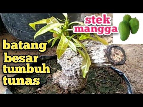 Tutorial / Demo Pruning Pemangkasan Mangga Harumanis - Teknik Percabangan Terbuka from YouTube · Duration:  5 minutes 36 seconds