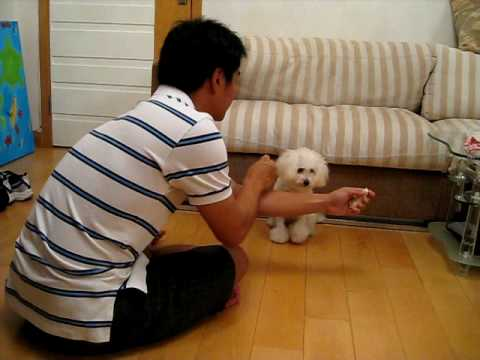 10-month-old Tiny Toy Poodle and her 11 tricks