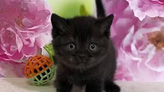 Британские котята. Котятам 1 месяц