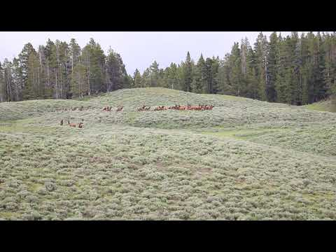 Yellowstone Grizzly Tries to Catch an Elk for Dinner