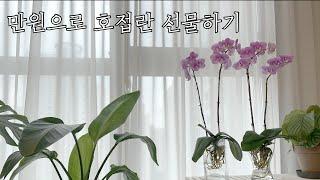 [키우기 쉬운 식물] 만원으로 호접라…