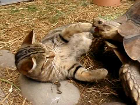 Thumbnail for Cat Video Cat and Tortoise at Gator Farm