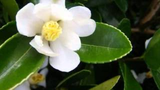 Camellia 2 - An Indonesian Love Song from Ebiet G Ade - Performed by Stanley Power