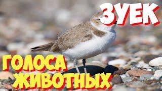 Голоса птиц и звуки животных. Звуки природы слушать онлайн ЗУЕК