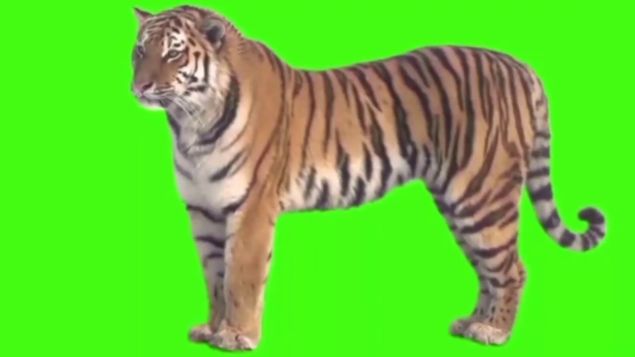 Real Tiger On Green Screen Green Screen Animals Free Youtube