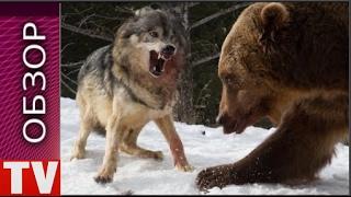 ОБЗОР Волки Против Медведя Гризли