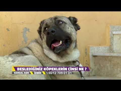 Kangal Aşkı - İzmir - Köpeklerde Hastalıklar İle Mücadele.