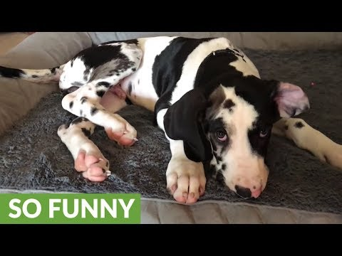 Lazy Great Dane puppy refuses to get out of bed