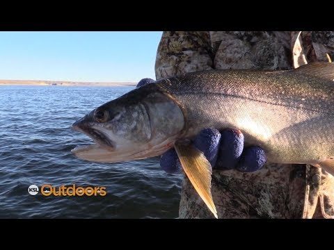 Catching And Keeping Flaming Gorge Pups