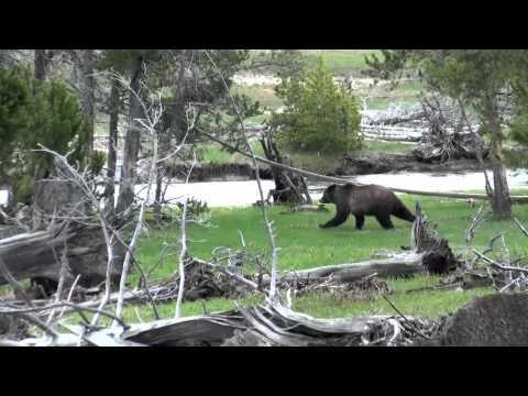 Yellowstone Grizzly at Upper Geyser Basin near Old Faithful