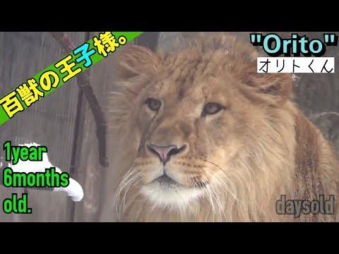 【daysold】ライオンのオリトくん1年6月齢③a【百獣の王子様。】1year 6months old.