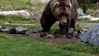Could Bigfoot Actually Be a Grizzly Bear?