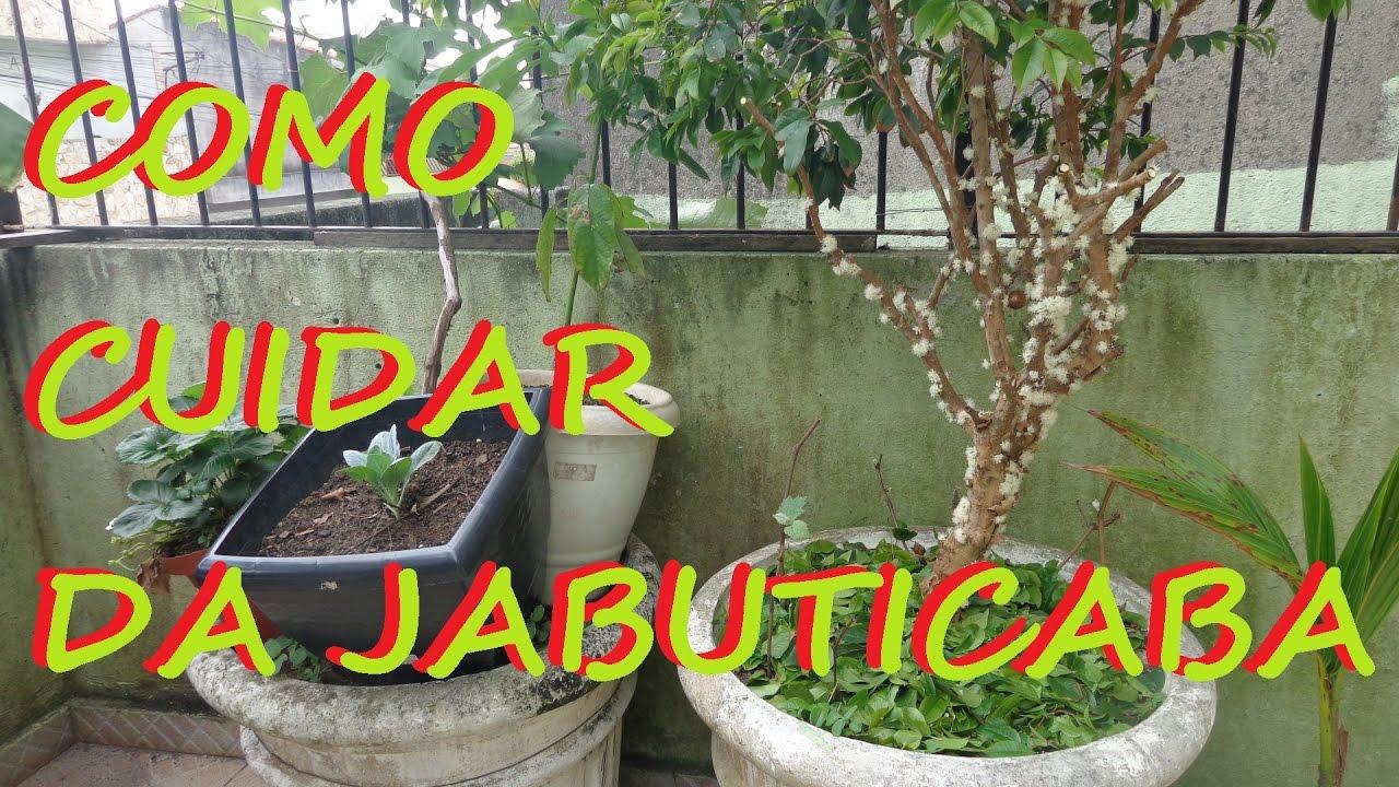 Top Como cuidar da jabuticaba para produzir frutos em pouco tempo  IW17
