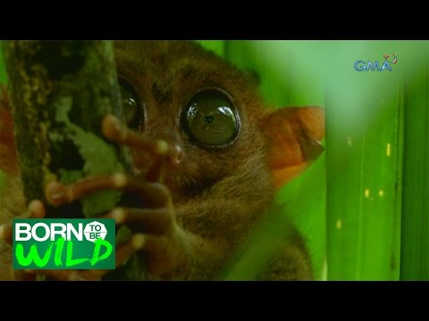 Born to Be Wild: Philippine Tarsier, the most famous animal in Bohol