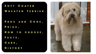 Soft Coated Wheaten Terrier. Pros and Cons, Price, How to choose, Facts, Care, History
