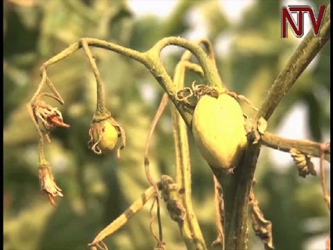 Scientists warn of harmful new tomato pest