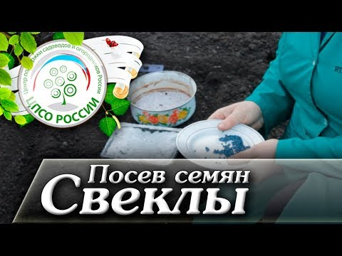 Посев семян свеклы. Когда сажать свеклу в открытый грунт. | выращивание | рассада | семена | свеклы | свеклу | свекла | сажать | посев | полив | можно