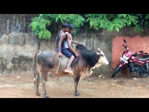 Ox riding