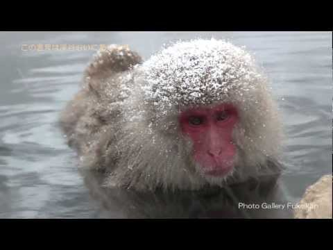 地獄谷野猿公苑 温泉お猿の癒し January, 2012 Japanese Snow Monkeys in hot spring
