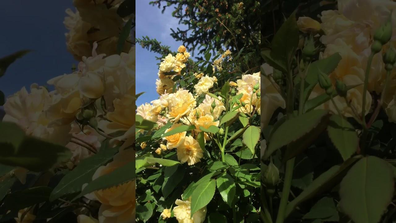 Englische Rose 'Malvern Hills' im Schaugarten GALAROSA