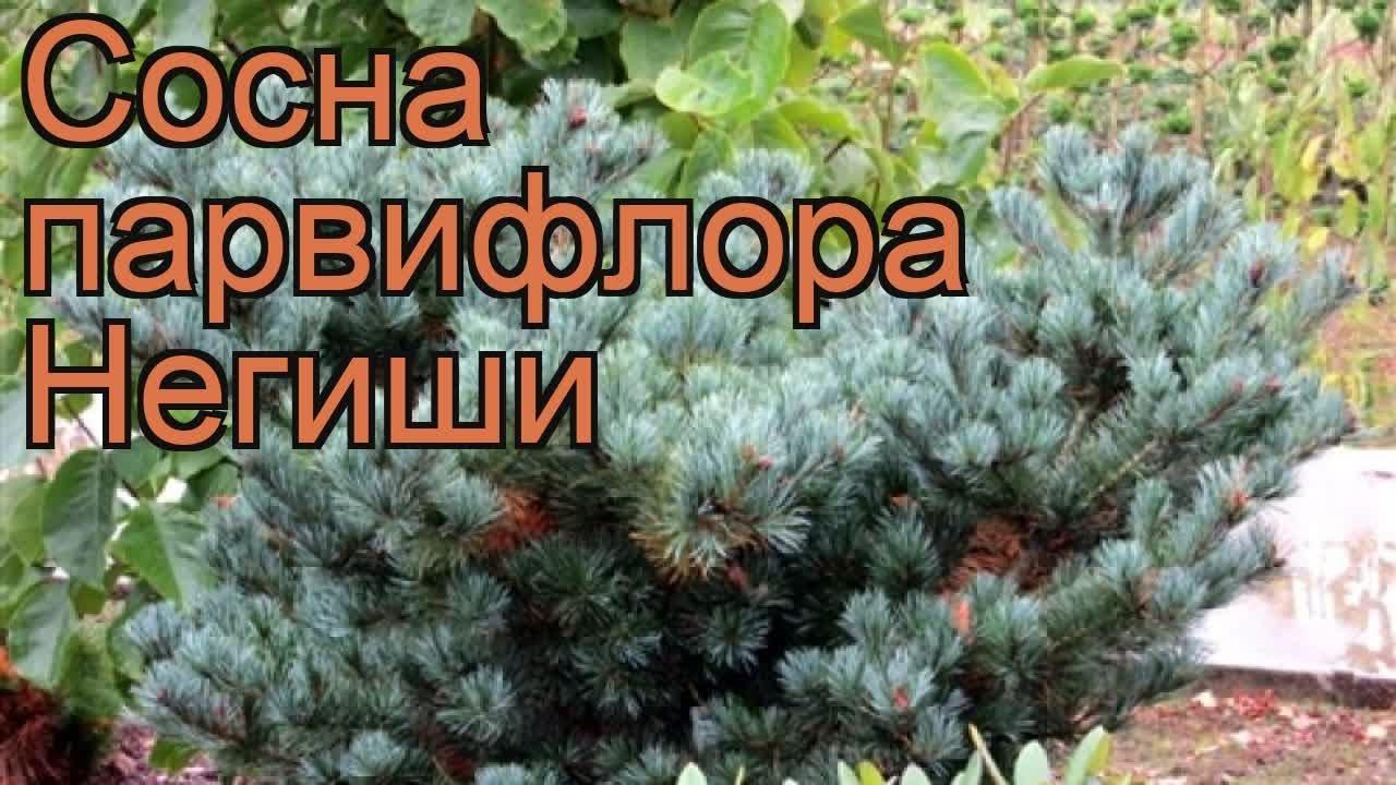 Продам саженцы: саженцы пихты бальзамической, высота 0,5 м. Продаю саженцы каштана привитые, метровые стоимость за 1 шт. Питомник в пригороде москвы продает оптом саженцы хвойных и лиственных растений в.
