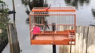 towa towa - Guyana birds  - Mick