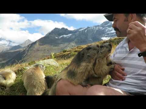Murmeltiere / marmotte Saas Fee