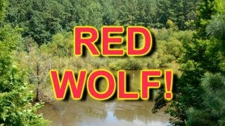 RED WOLF! Caught on Tape...