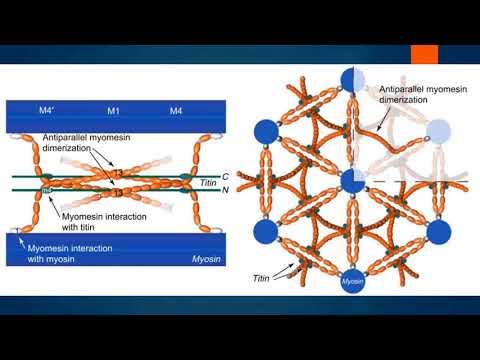 Физиология мышц. Часть I: строение мышечного волокна. Структура миофибрилл