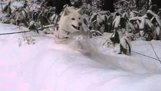 久々にデジカメの「ハイスピードムービー」で撮影。新雪をラッセルする...
