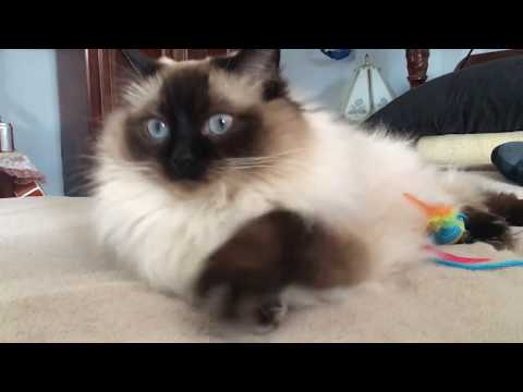 Fluffy and Perfect Ragdoll Cat