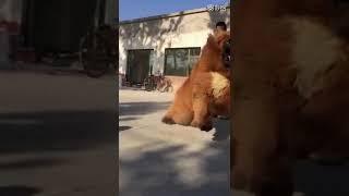 Собака-медведь не удержишь, сила