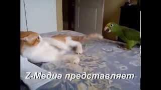Смешные приколы про кошек, Поединок кошки с попугаем!