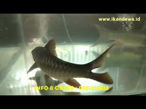 jual-ikan-dewa-atau-tor-soro,-wa-0811224818