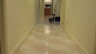 Kaka Chu the Bouncy Ball Cat