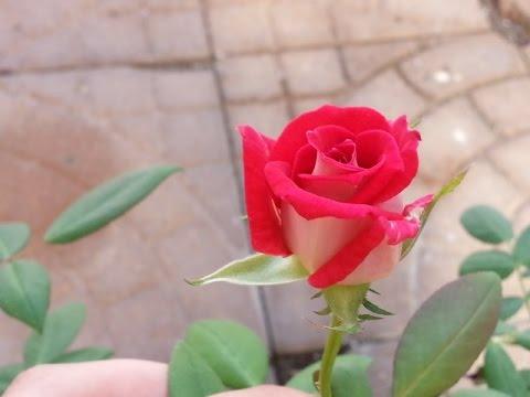 Love Rose in Bloom
