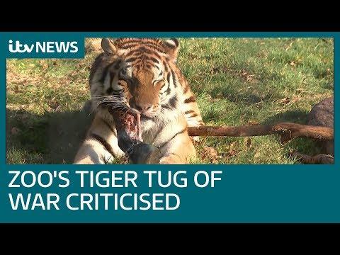 Zoo offering tiger versus visitors tug-of-war proves talking point   ITV News