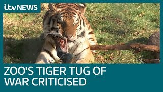 Zoo offering tiger versus visitors tug-of-war proves talking point | ITV News