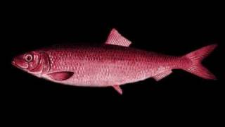 Adult Red Herring