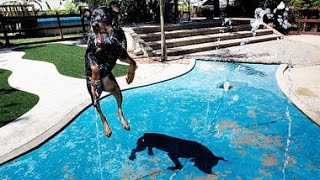 Rottweiler Swimming 2015