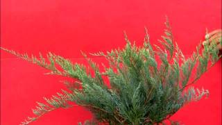 **Plant a Grey Owl Juniper Shrub**  ++  Juniperus virginiana 'Grey Owl' ++