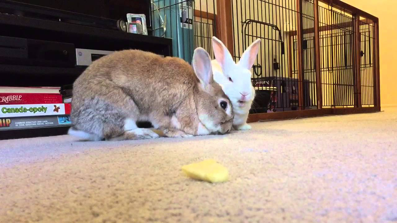 Can Rabbits Eat Pineapple Find Out Now