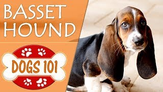 Dogs 101  BASSET HOUND  Top Dog Facts About the BASSET HOUND