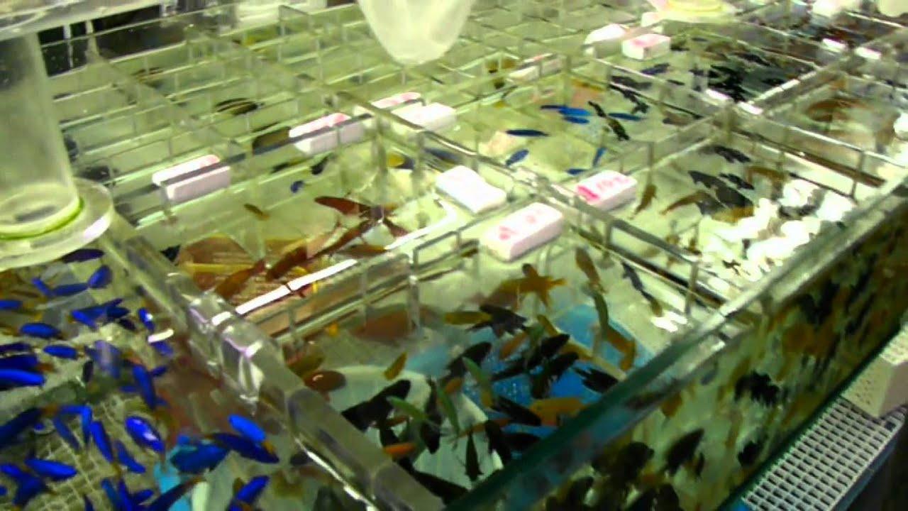 Freshwater aquarium fish for sale philippines - Freshwater Aquarium Fish For Sale Philippines