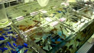 HD Goldfish Market in Hong Kong Tung Choi Street 香港 Part 2
